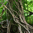 Twisted tropical tree roots in rain forest - Stok fotoğraf