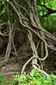 Twisted tropical tree roots in rain forest — Stockfoto