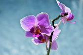 Branch of violet orchids on the cloudy sky background — Stock Photo