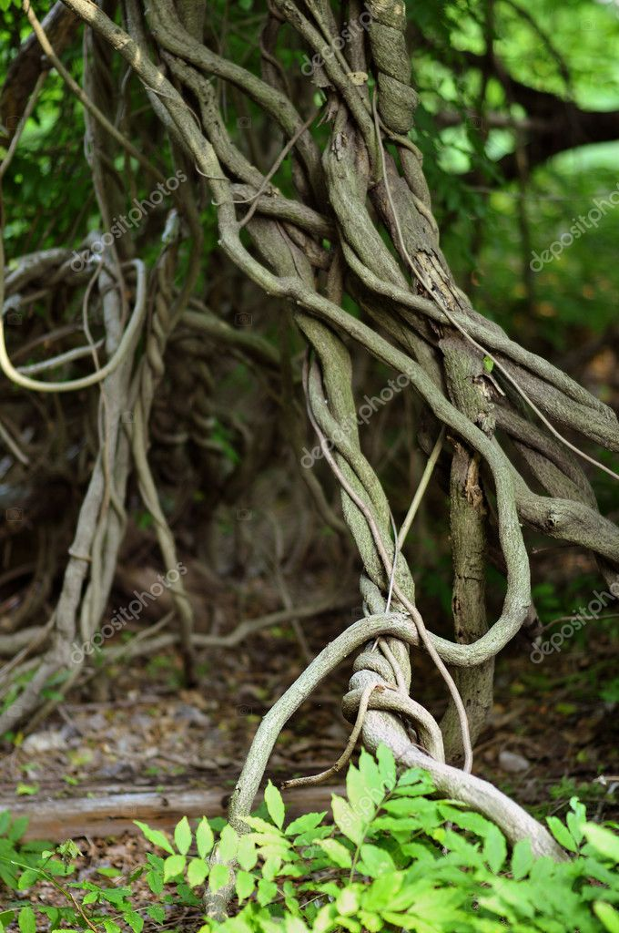 Twisted tropical tree roots in rain forest  Stock Photo #18633129