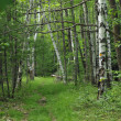 Summer sunny birch forest - Stock Photo