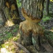 European aspen tree almost taken down by beaver - Foto de Stock