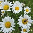 Field of daisies — Stockfoto #18660081