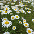 Field of daisies — Foto de stock #18660093
