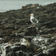 Sea Lion and Seagull resting at bllack lava field on at Palos Verdes, CA - Stock Photo