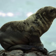 Sea Lion at bllack lava field on at Palos Verdes, CA - Stock Photo