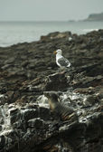 Sea Lion and Seagull resting at bllack lava field on at Palos Verdes, CA — Stock Photo