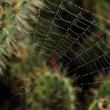 Spider cobweb in the moorning at california kaktuses — Stock Photo