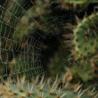 Spider cobweb in the moorning at california kaktuses - Stock Photo