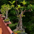 Bonzai trees - Stock Photo