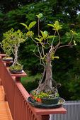 Bonzai trees — Stock Photo