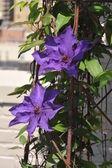 Ultraviolet big flowers at rooftop garden — Stock Photo