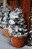 First snow on pine trees outside — Stock Photo