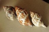 Con shells souvenirs — Stock Photo