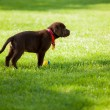 Dog on grass — Stock Photo #40135517