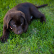 Dog on grass — Stock Photo #40135617