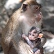 Family of monkeys — Stock Photo