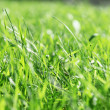 Close up macro photo of green grass — Stock Photo