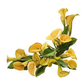 Yellow calla on a white background — Stock Photo