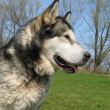 Stock Photo: AlaskMalamute dog in field with rape