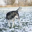 Alaskan Malamute dog in the field with rape — Stock Photo