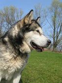 Alaskan Malamute dog in the field with rape — Stock Photo