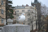 Seagull sitting on the railing in the center of Prague — Stock Photo
