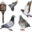 Stock Photo: Carrier-pigeon