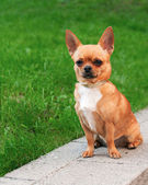 Chihuahua dog sitting on a background of green grass and looking — Stok fotoğraf