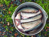 Fresh brushed fish ready for cooking in the bowler — Stock Photo