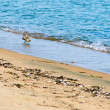 View of sea birds - sandpiper - looking for food during low tide — Stock Photo #13296770