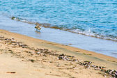 View of sea birds - sandpiper - looking for food during low tide — Stock Photo