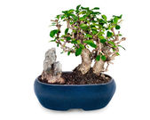 Miniature bonsai tree and stone in blue pot isolated on white ba — Stock Photo