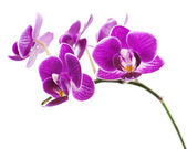 Violet orchid isolated on white background — Stock Photo