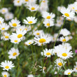 Green flowering meadow with white daisies — Stock Photo #20128991
