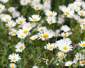 Green flowering meadow with white daisies — Stock Photo