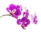 Seltene lila orchidee isoliert auf weißem hintergrund. — Stockfoto