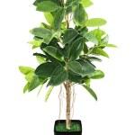 Ficus elastica (Indian Rubber Bush) in black flowerpot on white — Stock Photo #25603865