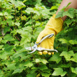 Hand with green pruner in garden. — Stock Photo #26516033