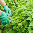 Hands with green garden pruner in garden. — Stock Photo #26516763