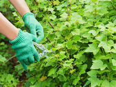 Hands with green garden pruner in the garden. — Stock Photo