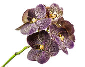 Dark tiger orchid isolated on white background. — Stock Photo