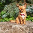 Red chihuahua dog sits on a granite pedestal. — Stock Photo