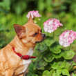 Red chihuahua dog on garden background. — Stock Photo