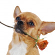 Red chihuahua dog with rose isolated on white background. — Stock Photo