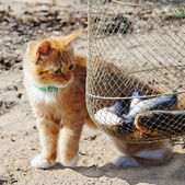 Young red maine coon and fish. — Stock Photo