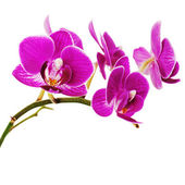 Very rare purple orchid isolated on white background. — Stock Photo