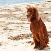 Hunting irish setter sitting near sea. — Stock Photo