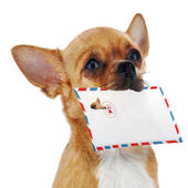 Red chihuahua dog with post envelope isolated on white backgroun — Stock Photo