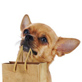 Red chihuahua dog with recycle paper bag isolated on white backg — Photo